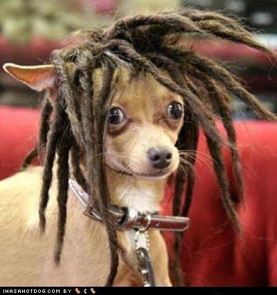 chihuahua dreadlocks dreds rasta reggae stoned - 4707688192