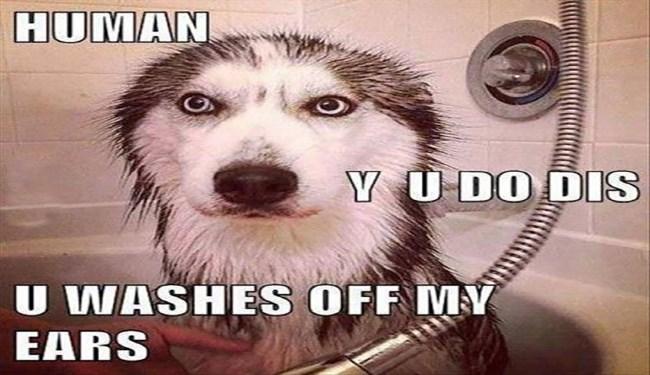 news husky memes funny - 4707845