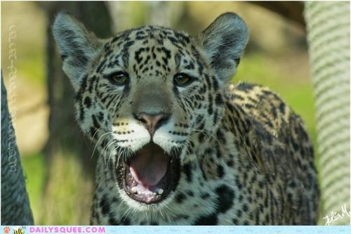 acting like animals aghast astonished awestruck confused leopard open-mouthed speechless - 4708333824