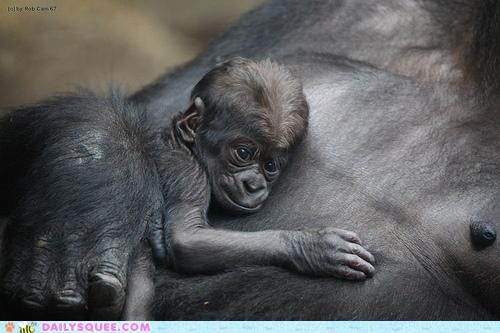 arms baby gorilla gorillas holding mama mother protected safe - 4708356352