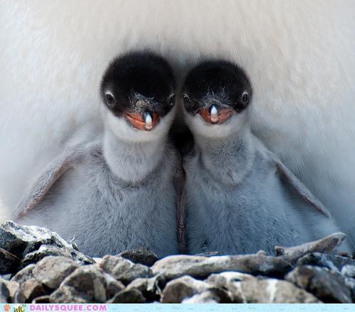 Babies baby chick chicks cuddling full house gentoo penguin mother penguin penguins poker royal flush two of a kind