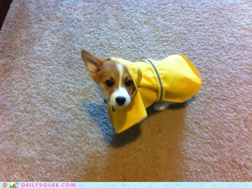 acting like animals,annoyed,corgi,disbelief,dogs,Hall of Fame,instinct,maternal,precaution,puppy,raincoat,unnecessary
