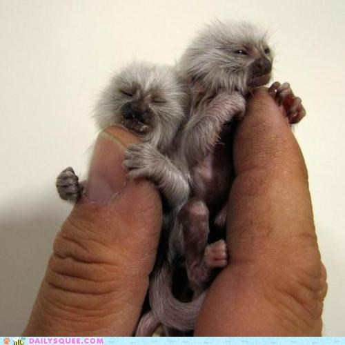 baby do want finger finger foods fingers finger-sized Hall of Fame holding logic logical logically marmoset marmosets not stretch tiny - 4708474112