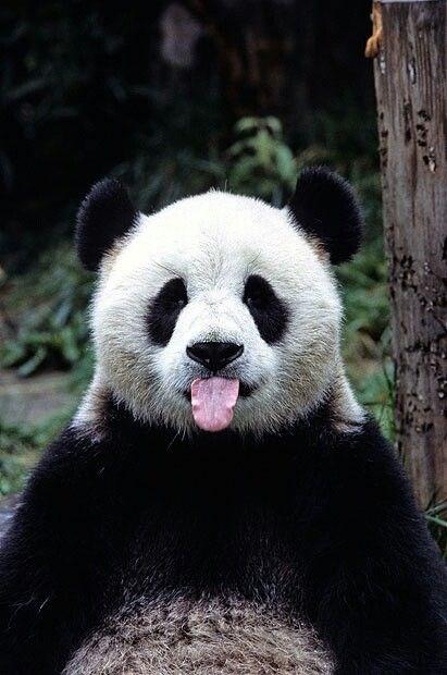 panda gifs funny - 4713989