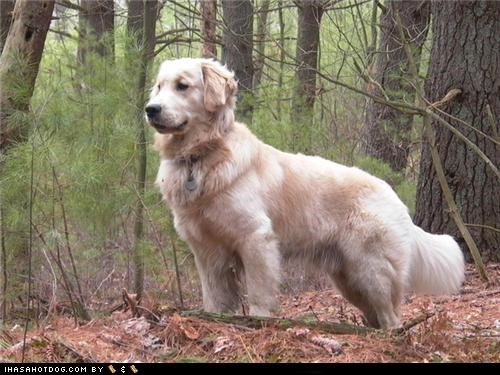 Forest goggie ob teh week golden retriever leaves standing trees woods - 4717882112