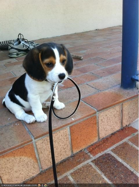 beagle cyoot puppeh ob teh day leash steps walk - 4718432512