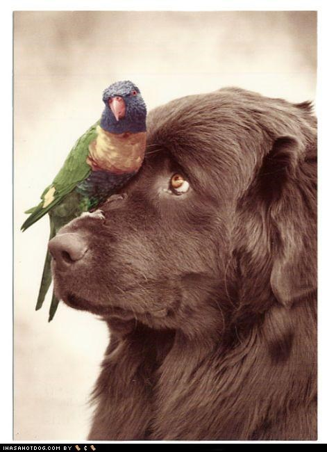 brown,newfoundland,nose,parrot,perch,whatbreed