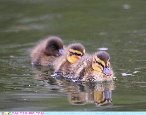 Babies baby cute duck duckling ducklings ducks leaving request train wait for me - 4718597888
