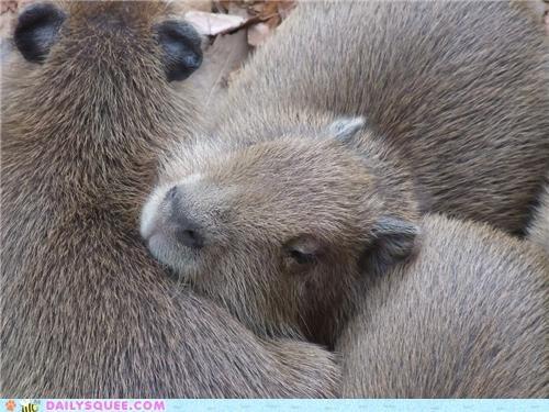 alliteration baby capybara capybaras cuddles cuddling squee spree - 4719377152