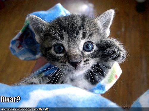 cute ferocious growl kitten lolcats lolkittehs - 472049920