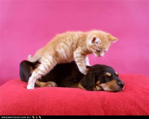 backrub doberman kitten kittesh r owr friends marmalade massage nap sleepy