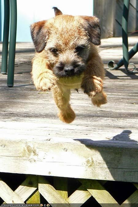 cyoot puppeh ob teh day deick jump liftoff norfolk terrier puppy - 4722337280