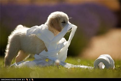 goggie ob teh week,golden retriever,grass,mess,puppy,tangle,toilet paper