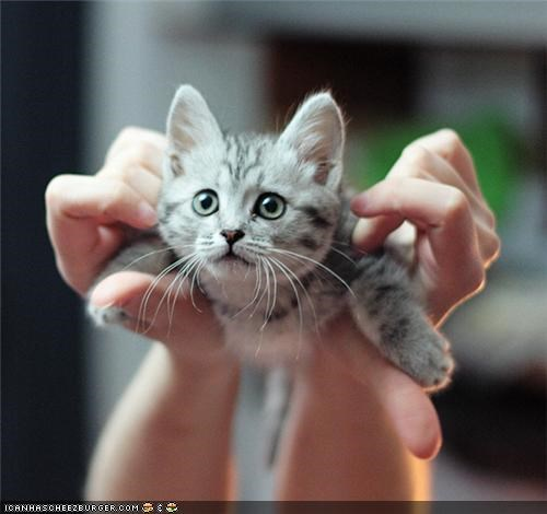 arms cyoot kitteh of teh day hands super kitty superman - 4723066880