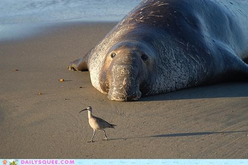 acting like animals adage advice beach cleaning elephant seal nose pragmatism proboscis shape shaped solution vacuum