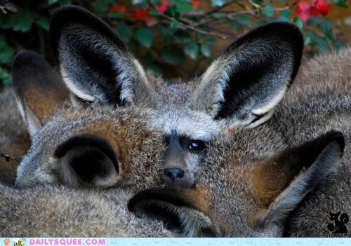 bat-eared fox fennec fox not quite pun whatsit whatsit wednesday - 4723269632