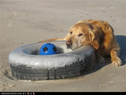 ball,bored,goggie ob teh week,golden retriever,lazy,play,Sad,tire