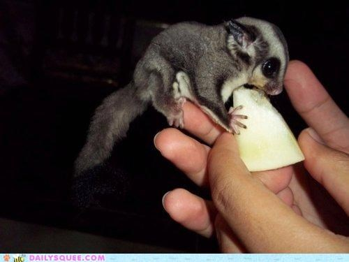 do want finger fruit namesake nomming noms perching sugar sugar glider - 4726855680