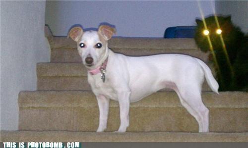 Animal Bomb cat dogs laser eyes - 4726888192
