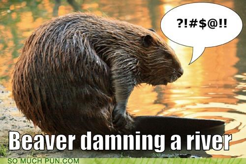 Beaver damning a river