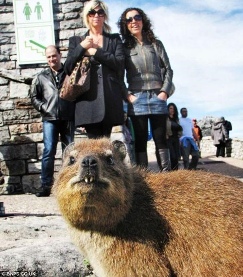 Crasher Hyrax,photobomb,Suddenly Hyrax