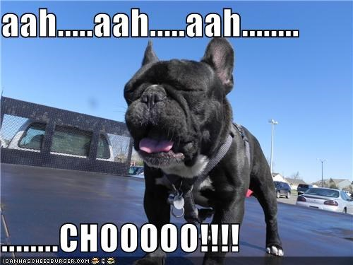 achoo french bulldogs sneeze sneezing - 4730262528