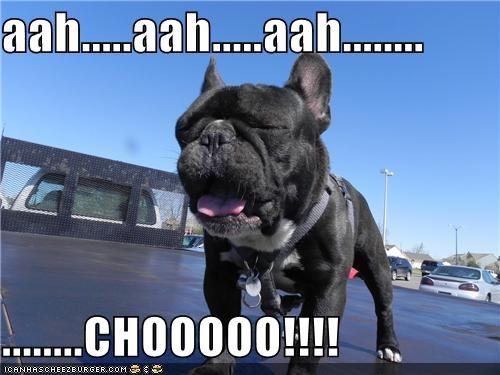 achoo french bulldogs sneeze sneezing - 4730262528