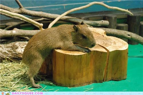 alliteration,baby,building,capybara,carpentry,constructing,end,log,squee spree,treehouse,wood
