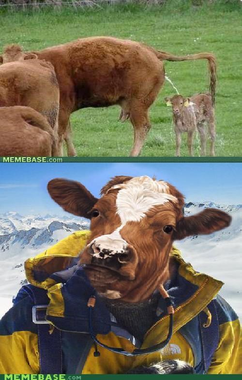 bear grylls,cow,grylls,mixed up,pee