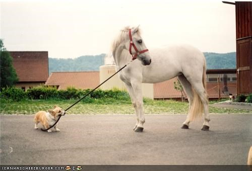 corgi,cyoot puppeh ob teh day,hold,horse,lead,rope,tow