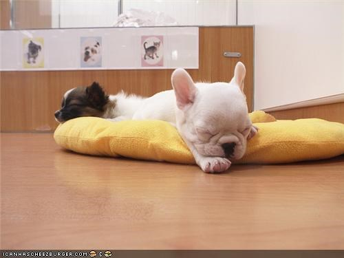 bed cytoot puppeh ob teh day french bulldogs nap papillon sleep - 4733462272