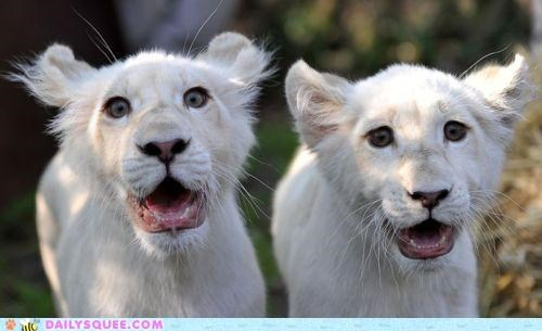 awe aww Babies baby cub cubs idea lion lions lolwut pun shock surprised thinking out loud - 4734113280