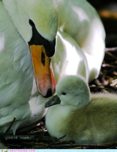 baby mother mothers day swan swans