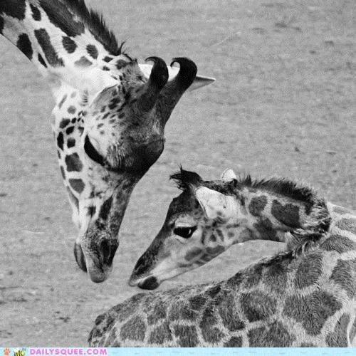 baby,beautiful,black and white,comparison,giraffes,idea,mother,mothers day,perfect,relationship