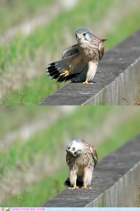 acting like animals angle carefree confused examining hawk hawkward lolwut Staring upside down walking weird - 4734396672