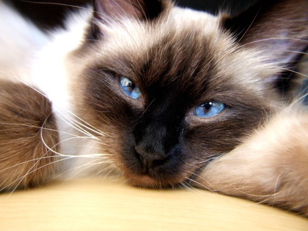 blue eyes funny animals - 4734725