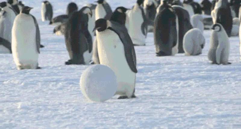 gifs penguins cute funny - 4735749