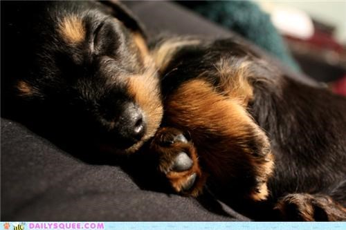 baby dachshund dogs puppy reader squees sleeping tiny