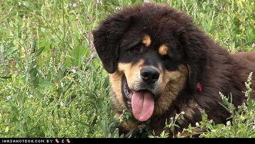 black Fluffy goggie ob teh week grass tan tibetan mastiff tongue winner - 4743437312