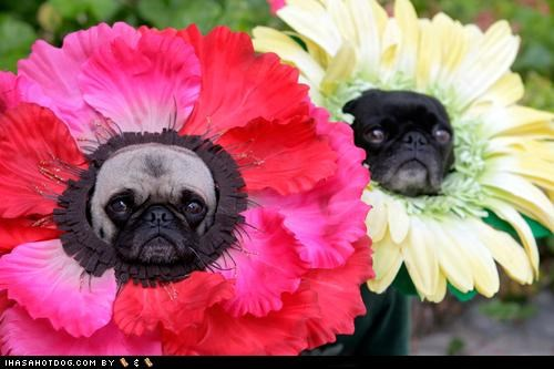 best of the week,costume,dress up,flowers,garden,Hall of Fame,hats,pugs