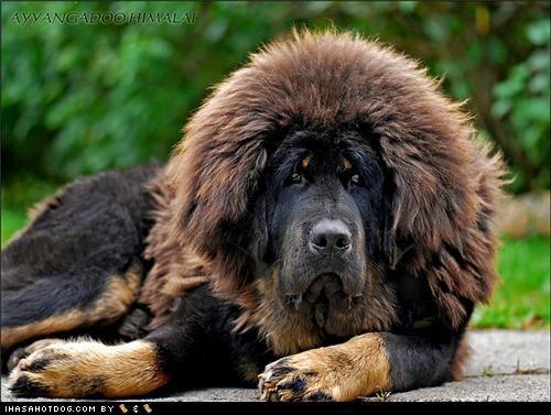 best of the week Fluffy furry goggie ob teh week Hall of Fame puppy tibetan mastiff - 4743889152