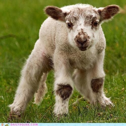 adorable baby lamb legs shaky sheep unstable wobbly - 4744607744