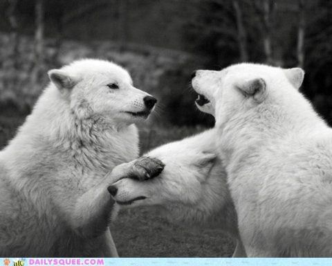 acting like animals covering eyes family feud feuding food noms shielding stealing theft warning wolf wolves - 4744656896