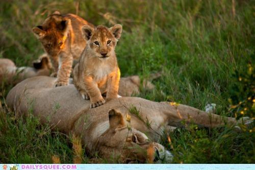 Babies baby cub cubs cutest cutest ever ever lion lioness lions massage paws - 4744704000
