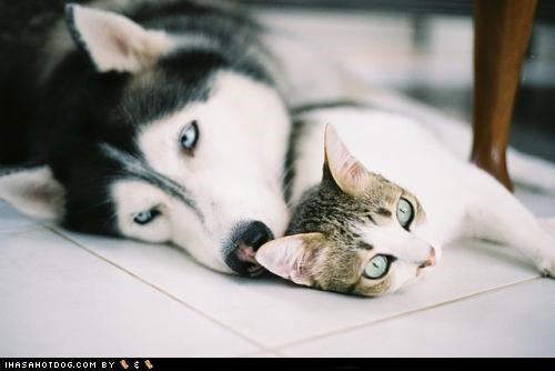 cuddle,floor,husky,kittehs r owr friends,kitty,snuggle,tabby