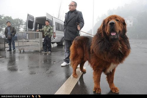 goggie ob teh week,handler,mist,outside,pavement,rain,red,tibetan mastiff