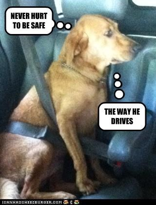 afraid cautious driving human labrador reckless safe safety safety first scared seatbelt - 4747799040