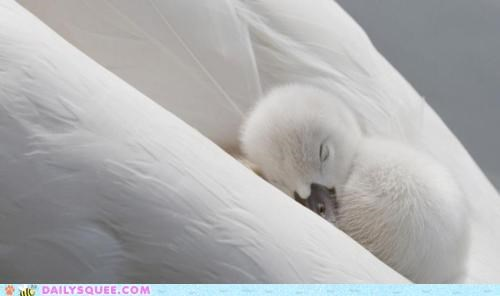 baby beautiful cuddling protected safe swan swans white on white wings - 4748497408