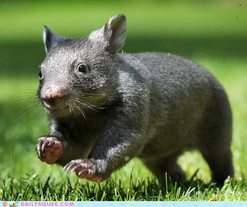 adorable,alliteration,baby,smile,smiling,wandering,Wombat