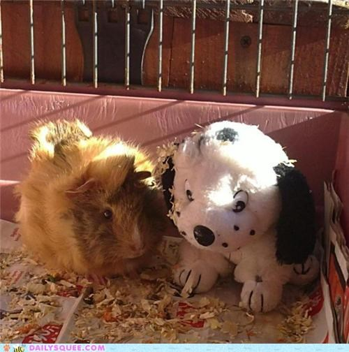 baby,cuddling,friends,friendship,guinea pig,reader squees,stuffed animal